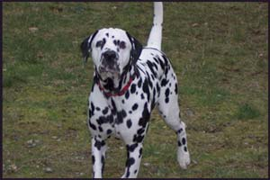 picture of dalmation